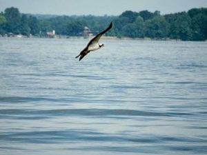 Osprey On Lake Norman